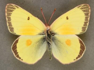 C eurytheme dorsal cool form example