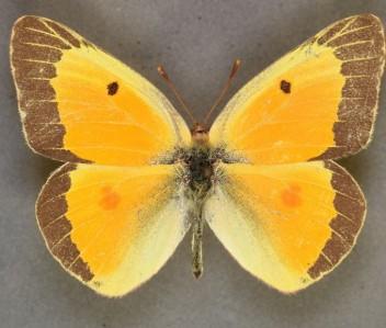 C eurytheme dorsal summer form example
